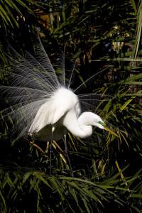 Great egret-1